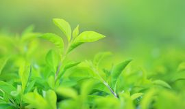 Green tree leaf on blurred background in the park with copy space and clean pattern. Close-up nature leaves in field for use in. Web design or wallpaper royalty free stock images