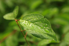 Green tree leaf with rain drops Royalty Free Stock Image