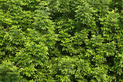 Green tree leafs background royalty free stock image