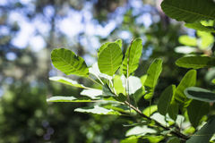 Green tree leave in sunlight. Sunlight sparkle on tree leave Royalty Free Stock Image