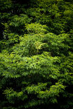 Green Tree Leaves. Tree detail in the Tarkine Wilderness, Tasmania royalty free stock image