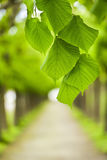 Green tree leaves Royalty Free Stock Photos