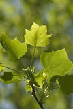 Green Tree Leaves. Image taken of some green tree leaves Royalty Free Stock Image