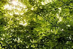 Green Tree Leaves Stock Image