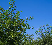 Green tree leaves against blue sky Royalty Free Stock Photo