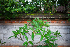 Green tree leaves against a brick fence. The green leaves of the frangipani tree on the background of a brick fence overgrown with moss in a tropical country Stock Photo