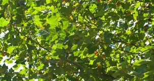 Green Tree Leaves In Autumn. Season stock video
