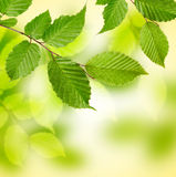 Green tree leaves background . Royalty Free Stock Photography