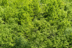 Green tree leaves  background in sunny day Royalty Free Stock Photo