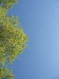 Green tree with leaves in the blue sky Stock Image