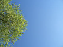 Green tree with leaves in the blue sky Royalty Free Stock Photo