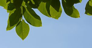 Green Tree Leaves On Blue Sky stock footage
