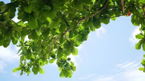 Green tree leaves on blue sky background at Sunny day stock video