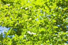 Green tree leaves and clear blue sky Stock Photography