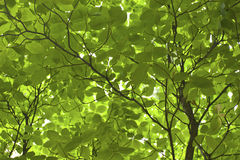 Green Tree Leaves close up Stock Photos