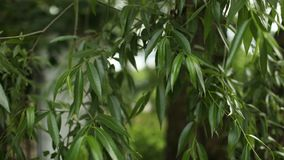 Green tree leaves closeup, weeping willow. Russia stock video footage