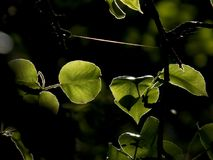 Green tree leaves. In the shade Stock Photos