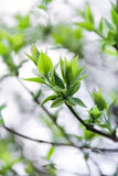 Green tree leaves in spring. Green leaves of a tree on a gray background Stock Image