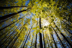 Green tree leaves. Sun passing through green trees leaves in a forest Royalty Free Stock Images