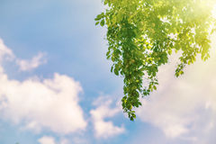 Green tree leaves. Sun rays in green tree leaves in sky background Royalty Free Stock Photos