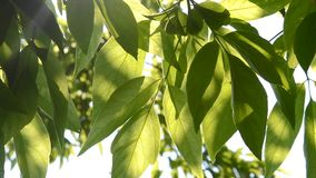 Green tree leaves in the sunshine. Background green tree leaves in the sunshine stock video