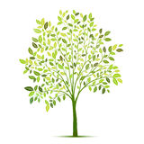 Green tree with leaves on white background vector Royalty Free Stock Photography
