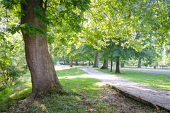 Green Tree Lined Path in Park. A path in a park lined with beautiful old growth trees with green leaves Stock Photos