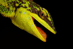 Green Tree Lizard Stock Photo