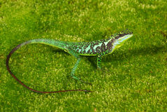 Green Tree Lizard Royalty Free Stock Photos