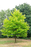 Green tree Royalty Free Stock Photography