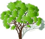 Green tree with many branches and shadow Royalty Free Stock Images