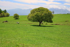 Green tree on a meadow Royalty Free Stock Photos