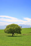 Green tree on a meadow Stock Photos