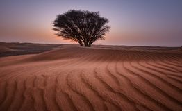 Green Tree in the Middle of Desert Royalty Free Stock Image