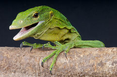 Green tree monitor. The green tree monitor, Varanus prasinus, is an highly arboreal monitor species from Papua new Guinea Stock Photos