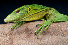 Green tree monitor. The green tree monitor, Varanus prasinus, is an highly arboreal monitor species from Papua new Guinea Stock Image