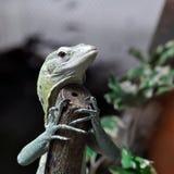 Green Tree Monitor climbing branch Stock Photography