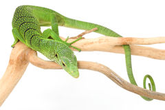 Green Tree Monitor Lizard. (Varanus prasinus) on white background Royalty Free Stock Photography