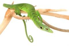 Green Tree Monitor Lizard. (Varanus prasinus) on white background Royalty Free Stock Photos