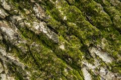 Green tree moss royalty free stock photo