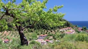Green tree. In Nea Skioni village, Kassandra peninsula, Chalkidiki, Greece stock video