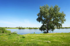 Green tree near the river. Green tree near the calm river, blue sky on background. Summer landscape in sunny day Stock Photos