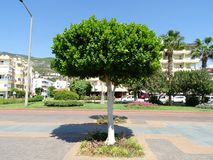 Green tree at noon in the South. Clean paths and small buildings of Alanya hotels in Turkey stock photography