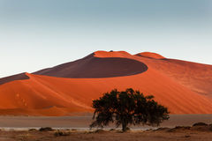 Green tree nourished by fog stands in Namibian desert dunes Stock Photo