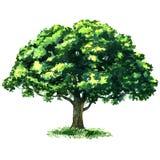 Green tree oak isolated on white background Royalty Free Stock Photo