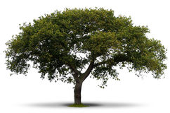 Green tree over white Royalty Free Stock Images