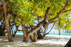 Green tree and palm on white sand beach. Maldives island. Royalty Free Stock Image