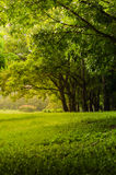 Green tree in park with green lawn Royalty Free Stock Photos