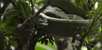 Green Tree Pit-Viper. Tree Viper keeping an eye on surroundings Stock Photos