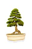 Green tree in pot on white background. Stock Photos